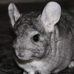 For chinchillas